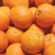 かわいい小玉*ブラッドオレンジ8K 8K 43個程度 果物(柑橘類) 通販