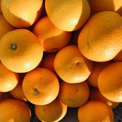 小豆島産はっさく4kg+おまけ 4kg+おまけ 果物(みかん) 通販