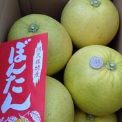 【巨大なみかん】ぼんたん8個入り  お歳暮に最適 八個入り  一個あたり800g~ 果物(みかん) 通販