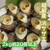 大将が素潜りで採った越前産活サザエ 2kg入(20個以上) 2.0kg 20個以上 魚介類 通販