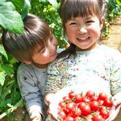 濃厚ミニトマト 1.5kg 1.5kg(120~160個) 野菜(トマト) 通販