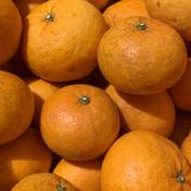 伊豆白浜産 自然栽培の甘夏【訳あり】5kg 約5kg 果物(柑橘類) 通販