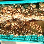 マルキュウフルーツ 山の椎茸200g✖5 200グラム