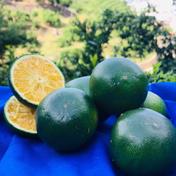 青みかんご家庭用粗選別【訳あり】【お試し】 2Kg 果物(柑橘類) 通販