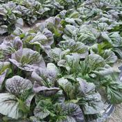 和想農園 【三池高菜120箱3kg】ワソ葉【和想のまんば】 30センチ葉 3kg