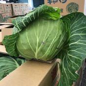 合同会社ベジファームマツダの野菜 10キロ 野菜(キャベツ) 通販