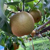 夏にはやっぱり梨だね 【期間限定商品】 5キロ 果物や野菜などのお取り寄せ宅配食材通販産地直送アウル