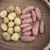 【農薬不使用】新ジャガイモ紅白セット 9キロ 9キロ 野菜(じゃがいも) 通販