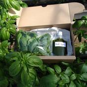 やわらかバジルセット【北海道・沖縄・離島への発送不可】 野菜(ハーブ) 通販