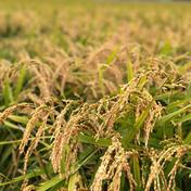 無農薬/令和2年産おぼろづき玄米20kg 10kg×2袋 ショクラク
