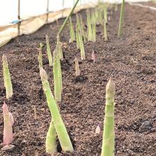 【Lサイズ1kg】小林農園の朝採りアスパラガス 1kg 野菜/アスパラガス通販