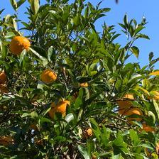 伊豆白浜産 自然栽培の甘夏【訳あり】10kg 約10kg 果物/柑橘類通販