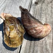 おうち時間価格❗️シングルシード真牡蠣 1kg 魚介類/牡蠣通販
