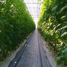 【訳あり】赤採りトマト1箱(4kg箱満杯) 1箱(4kg箱満杯) 野菜/トマト通販