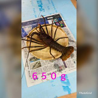 訳あり伊勢海老 千葉県産 650〜680g×2匹 650〜680g×2匹 魚介類/エビ通販