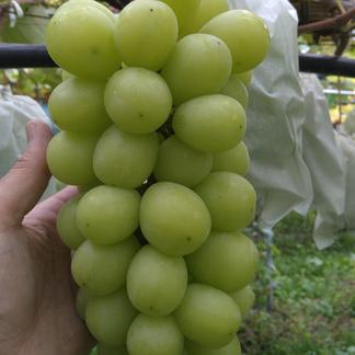 【家庭用】シャインマスカット  3-4房 2-4房 約1.8キロ前後 果物/ぶどう通販