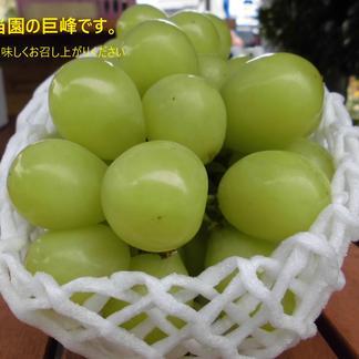 信州 小布施 シャインマスカット 1キロ(2房) 1キロ 果物/ぶどう通販