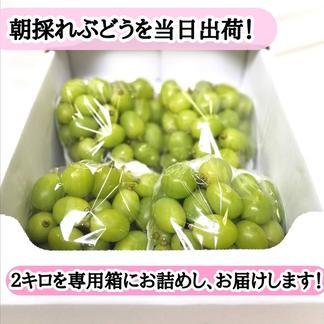 【送料込み】シャインマスカット粒切りぶどうパックたっぷり2kg! 2kg 果物/ぶどう通販
