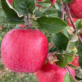 樹上完熟やたかご家庭用約5キロ 果物/りんご通販