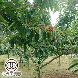 茨城のうまい栗(丹沢) Lサイズ(約1kg/約50個) 約1Kg(Lサイズ/約50個) 果物/栗通販