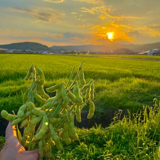 農薬等不使用 ぎゅっと詰まった採れたて丹波黒枝豆 2キロ 2キロ 野菜/豆類通販