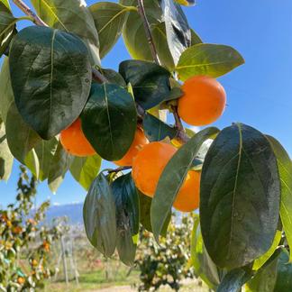 新実農園の干し柿 大好評❗️ 数量限定 約500g 加工品/その他加工品通販