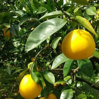 【えひめ県産】訳あり《 河内晩柑 》(本州、四国、九州のお客様のみ) 7.5kg(箱込み) 果物/柑橘類通販