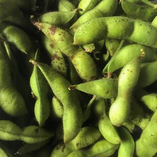 農薬等不使用 ぎゅっと詰まった採れたて丹波黒枝豆 無選別2キロ 無選別 2キロ 野菜/豆類通販