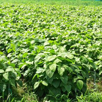 丹波黒大豆の若さや(固定種)バラ莢【10月10日頃から順次出荷】 2kg (500gx4袋) 野菜/豆類通販