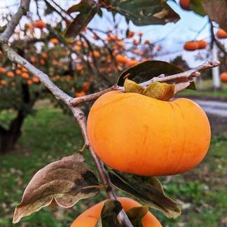 秋の味覚‼ 家庭用種なし柿 約2.5kg(15個前後入り) 約2.5kg(15個前後入り) 果物/柿通販