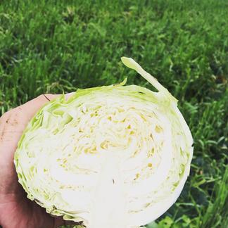 2個おかえりモネ」の登米市よねやま町のキャベツ!期間限定品 1.3キロ前後、2個 野菜/キャベツ通販