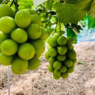 シャインマスカット1.2kg(岡山県産・種なし) 1.2kg(2房) 果物/ぶどう通販