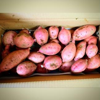 【本場種子島の安納芋】掘り立て!ほくほくの安納芋(5キロ) 5.0キロ 野菜/さつまいも通販