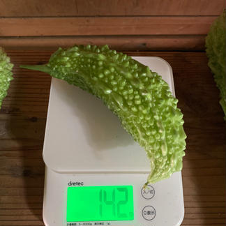 香りが違う!キウイ畑のゴーヤたち♡ 約600g(約2〜5本) 野菜/ゴーヤ通販