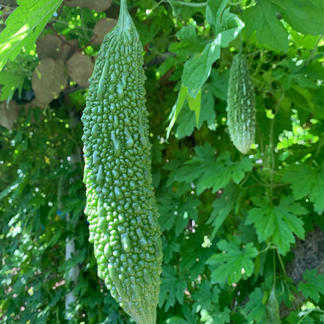 香りが違う!キウイ畑のゴーヤたち♡ 約1.2kg(約4〜10本) 野菜/ゴーヤ通販