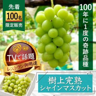 【先着100名様】TV主演特価☆樹上完熟シャインマスカット☆市場に一切出回らない高級品種【約1kg2房】 約1kg 果物/ぶどう通販