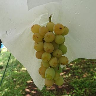 「種ありシャインマスカット」「種なしシャインマスカット」食べ比べセット 2 果物/ぶどう通販