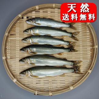 友釣り天然鮎 加茂川 愛媛県西条市 6匹 (17~20cm) 魚介類/川魚通販