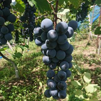「ベリーA」「甲州」「種ありシャインマスカット」食べ比べセット 3 果物/ぶどう通販