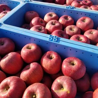 #シャキっ!パリっ!食べ比べセット  【長野県産サンふじ・シナノゴールド】3kg  計3kg(計6~9個) 果物/りんご通販