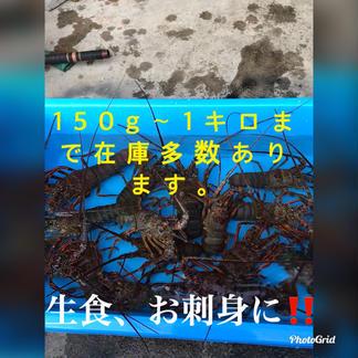千葉県産 訳あり伊勢海老 350〜380g×3匹 350〜380g×3匹 魚介類/エビ通販