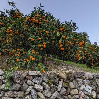 魚介系有機肥料にこだわった和歌山有田みかん2kgご家庭用 2kg 果物/みかん通販