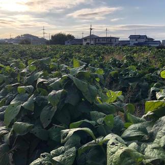 三郷町産 丹波黒大豆(枝豆) 1キロ 500g✖️2袋 野菜/豆類通販
