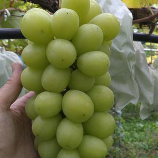 山形県産シャインマスカット 約1.8キロ 果物/ぶどう通販