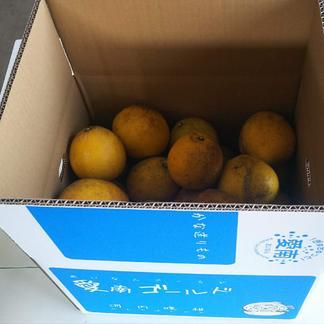 北海道向け石川ファームの愛南ゴールド【訳あり】小玉S 内容量10kg 果物/柑橘類通販