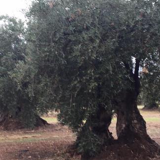 御中元 1000年樹の希少なオリーブの実で搾ったエキストラバージンオリーブオイル 500ml 飲食店/お取り寄せ通販