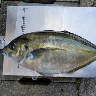 養殖シマアジ 3.0~3.5kg 魚介類/その他魚介通販
