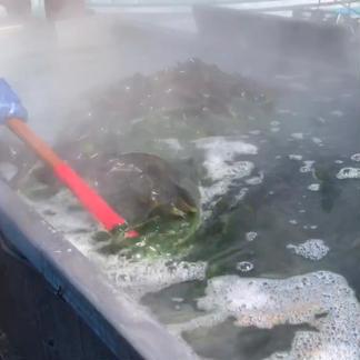 おさしみ生わかめ 290g×2点セット 290g×2点 魚介類/海藻通販