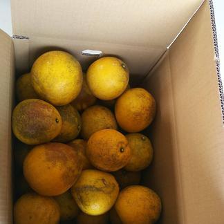 北海道向け河内晩柑【訳あり】 20kg 果物/柑橘類通販