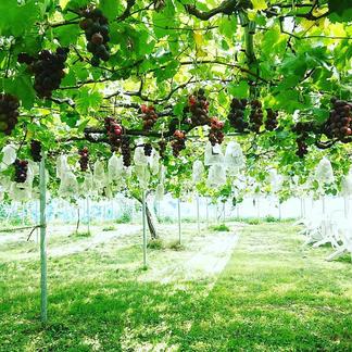 人に自然に優しく♫クロレラ栽培巨峰1.5キロ(5〜6房入り) 1.5キロ(5〜6房入り目安) 果物/ぶどう通販